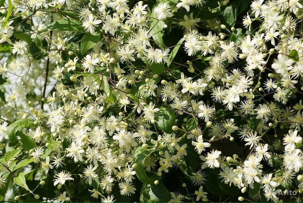 Садовые многолетники :лилейники,медуница 2 вида,ба купить на Зозу.ру - фотография № 3
