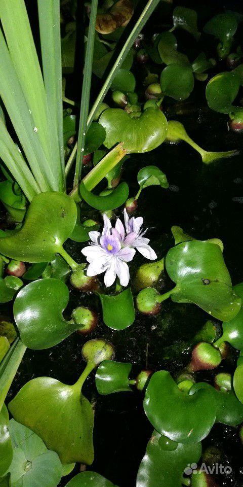 Растения для пруда купить на Зозу.ру - фотография № 1