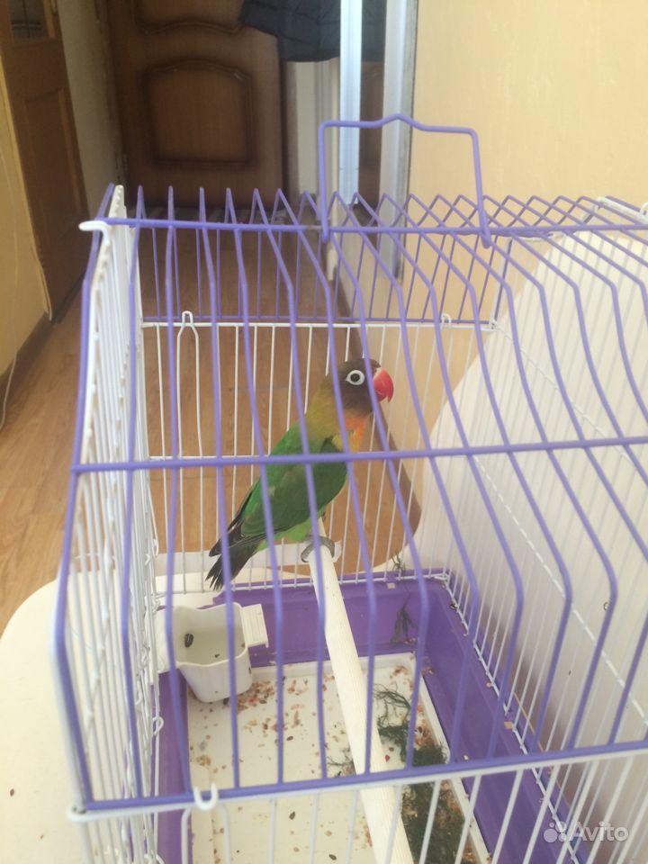 Продам попугая порода не разлучник