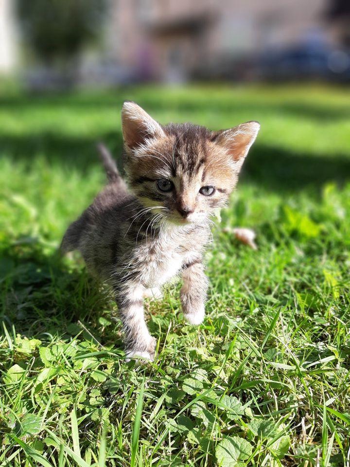 Котёнок мейн кун в Санкт-Петербурге - фотография № 1