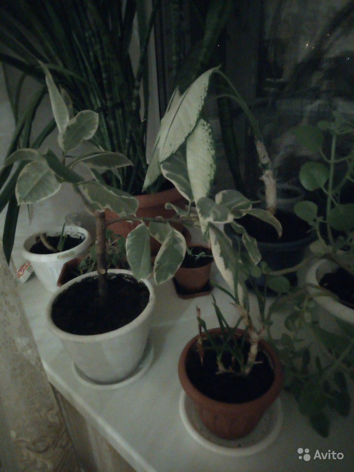 Комнатные растения купить на Зозу.ру - фотография № 7