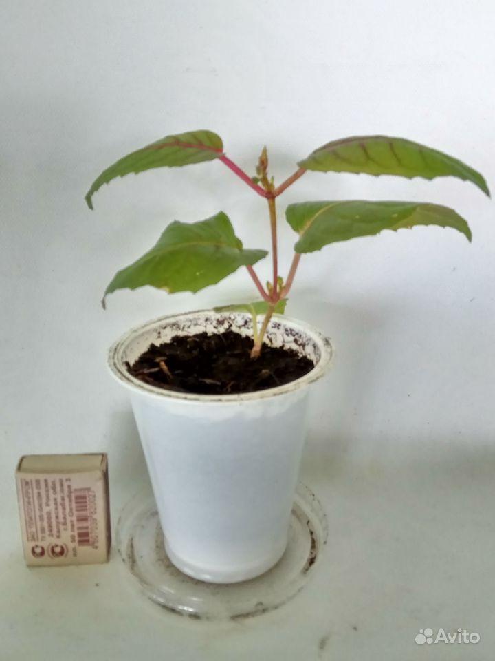 Комнатные растения - кливия и другие растения купить на Зозу.ру - фотография № 9