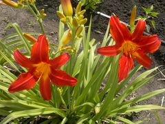 Лилейники - цветы многолетки на июль