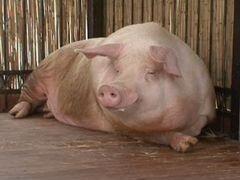 Продам кабана 3 года и свиней 8 месяцев