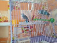 Волнистые попугаи мальчик и девочка