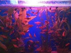Аквариумные рыбки и ампулярии
