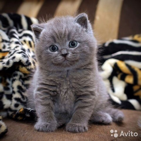 Британские котята и кошки от коллективного питомника LivaCats