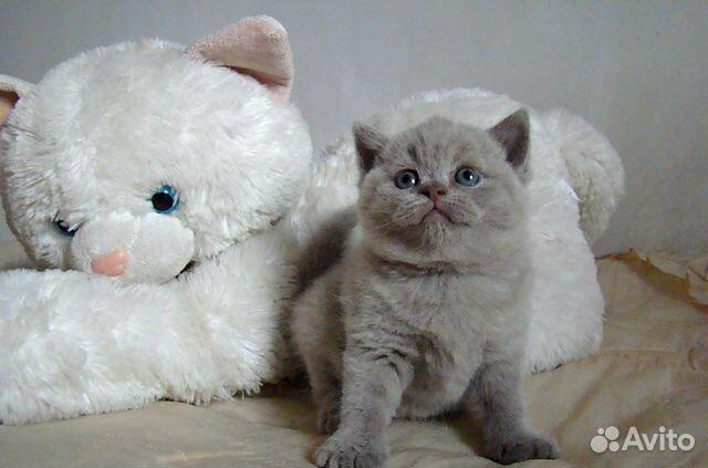 британские котята в новокузнецке фото