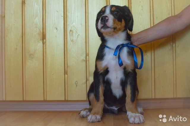 лесничество купить щенка в иркутске на авито всей России