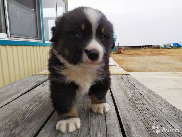 Продам щенка мальчика Бернского зенненхунда