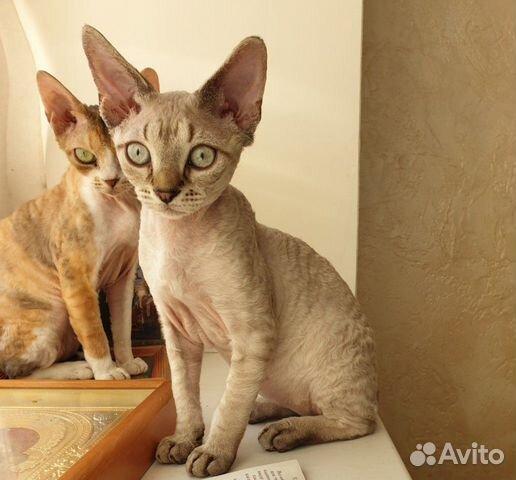 Котята Девон-Рекс