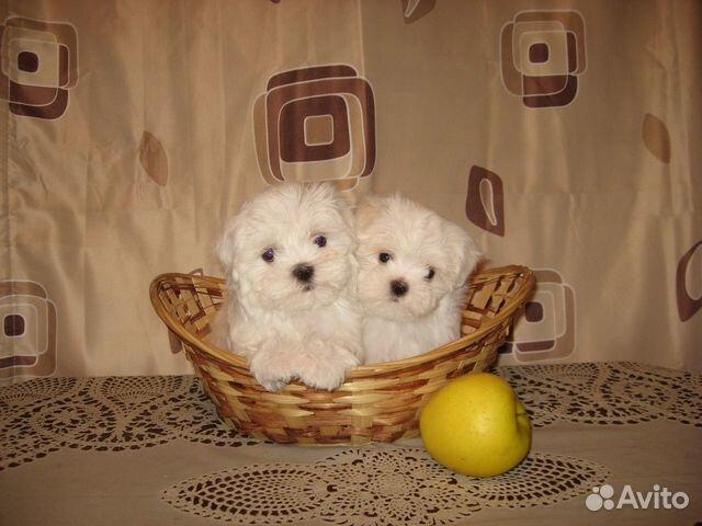 Продам щенков Мальтийских болонок купить на Зозу.ру - фотография № 3