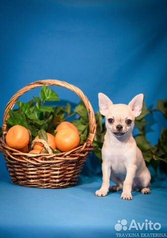 Чихуахуа щенки купить на Зозу.ру - фотография № 3