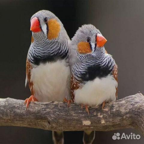 Зебровые амадины самцы