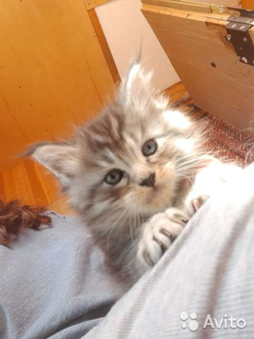 Котята Мейн-кун  купить 4