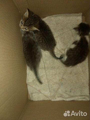 Котята  89049699236 купить 3