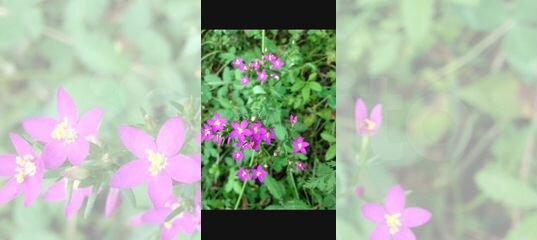 508a7127dd85 Лекарственные травы, растения с Кубани предгорья К купить в Краснодарском  крае на Avito — Объявления на сайте Авито