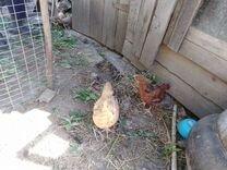Продаются домашние цыплята