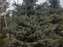 Ель голубая Глаука 2,5 - 3 метра
