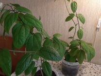 Клеродендрум(ком. цветок)