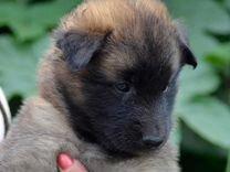 Бельгийская овчарка тервюрен щенки