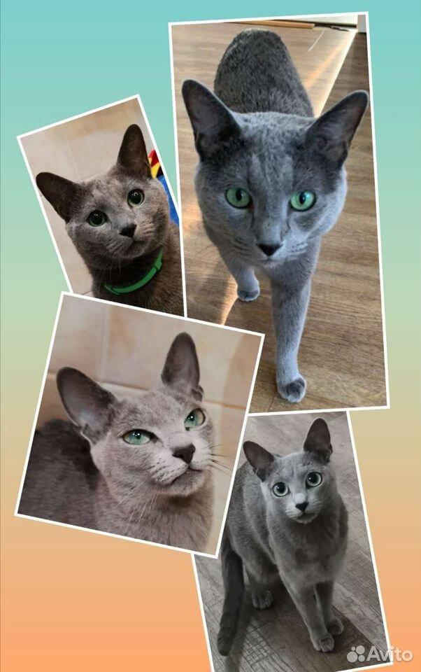 Kattungar, Russian blue katt  89149125544 köp 4
