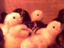 Породистые цыплята,инкубационное яйцо