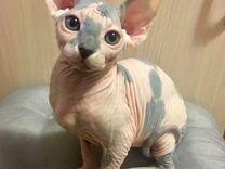 Котёнок Канадский сфинкс