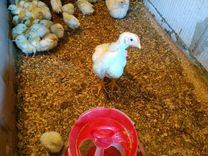 Цыплята коб 500