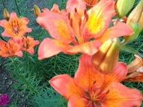 Люпин и другие цветы