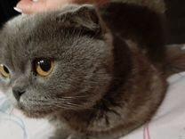 Отдам в добрые руки взрослую, спокойную кошку-брит