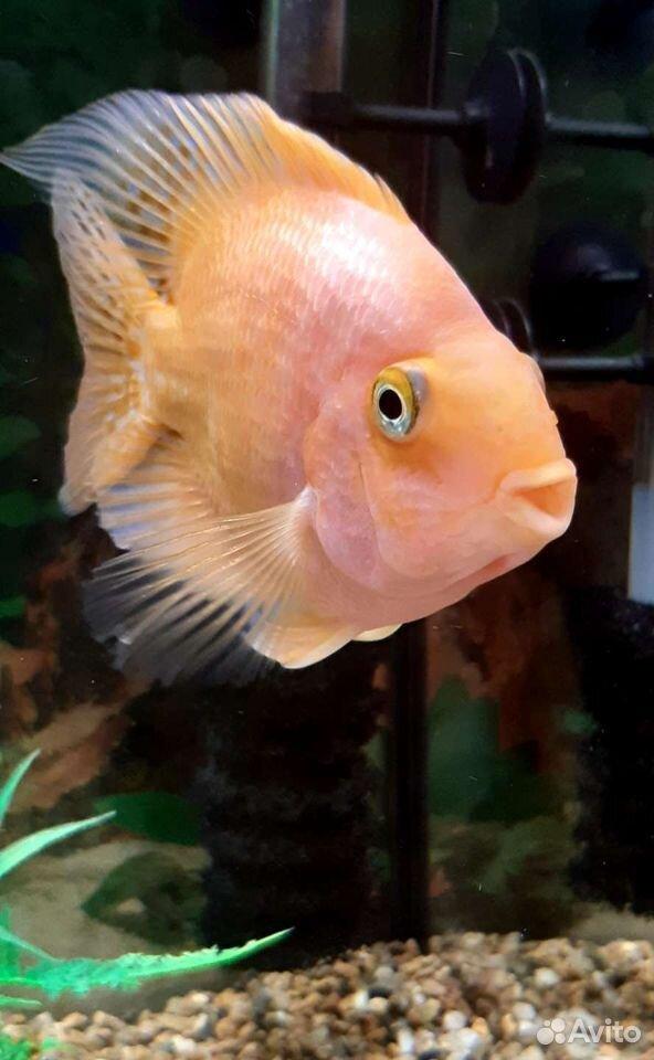 Рыба попугай  89241065400 купить 2