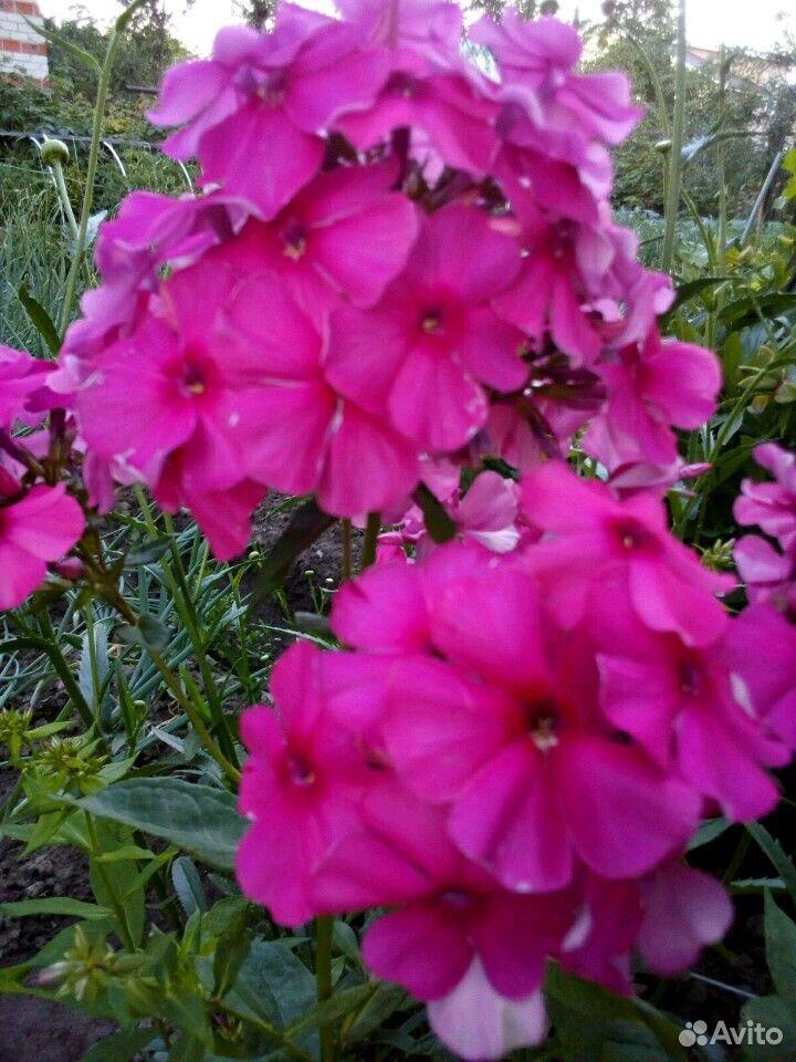 Растения садовые  89875767809 купить 10