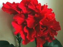 Красный махровый гибискус