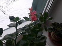 Каланхое,розовый