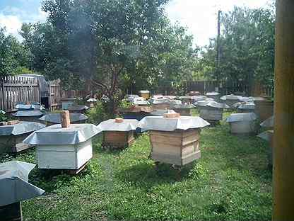 Продаются пчелосемьи