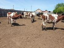 Коровы телки