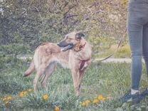 Метис бельгийской овчарки в добрые руки
